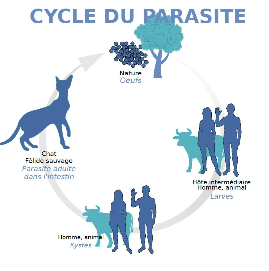 Le cycle du parasite